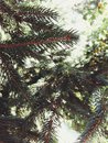 Perfect pine tree Royalty Free Stock Photo