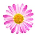 Perfect pink daisy on pure white studio closeup of a background Stock Photography