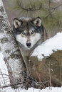 Perfect poser male alpha wolf posing portrait picture by rock with snow and aspen tree Stock Photo