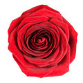 Perfect Red Rose Flowerhead Isolated on White Royalty Free Stock Image