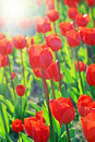 Perfect tulips and sun Stock Images