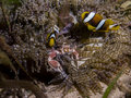 Perfect underwater symbiosis between clownfish porcelain crab and anemone mozambique africa this is the Royalty Free Stock Photography