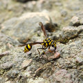 A perfect wasp mimic surphid fly syrphidae resting on stone Royalty Free Stock Photos