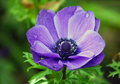 Perfection of nature pasque flower growing in the garden Stock Photo