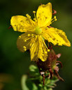 Perforate st john s wort hypericum perforatum a yellow flower of a plant in the family hypericaceae growing in an meadow Royalty Free Stock Image