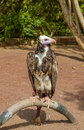 Performing vulture Royalty Free Stock Photo
