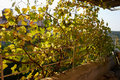 Pergola covered by hanging grapevines grapes Royalty Free Stock Photo