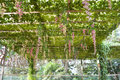 Pergola covered by hanging grapevines Royalty Free Stock Photo