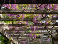 Pergola with wisteria on an arbor in a sunny garden Stock Image