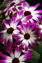 Pericallis flowers Stock Photo