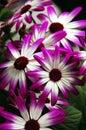 Pericallis Flowers