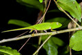 Perinet chameleon, andasibe Stock Photography
