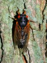 Periodical Cicada (Magicicada septendecim) Royalty Free Stock Photo