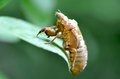 Periodical Cicada Skin Royalty Free Stock Photo