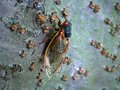 Periodical Cicada Royalty Free Stock Photo