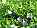 Periwinkle Stock Photography