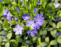 Periwinkle blue closeup Royalty Free Stock Photo