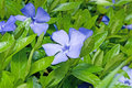 Periwinkle flower close-up Royalty Free Stock Photo