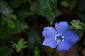 Periwinkle flower Royalty Free Stock Photo