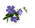 Periwinkle flowers in a small vase isolated on white Royalty Free Stock Photo