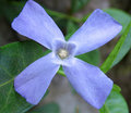 Periwinkle macro Royalty Free Stock Images