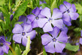 Periwinkle vinca blue spring flowers forest Stock Photo