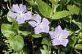 Periwinkle or vinca leaves and flowers of mayor Stock Images