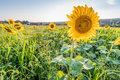 Perky sunflowers stand out in a field Royalty Free Stock Photo