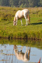 Perlino akhal-teke horse grazing near the water Stock Photo