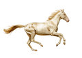 Perlino akhal teke horse runs free isolated on white the Stock Photo