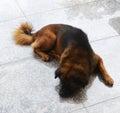 Perro brown de dogsleepy Fotos de archivo libres de regalías