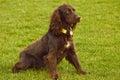 Perro de aguas que se sienta en parque Fotos de archivo
