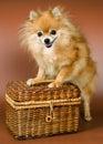 Perro de Pomerania-perro con una cesta de la estopa Imágenes de archivo libres de regalías