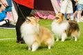 Perros pastor de shetland Foto de archivo libre de regalías