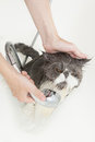 Persian breed cat taking a shower Royalty Free Stock Photo