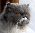 Persian cat 1 Royalty Free Stock Image