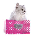 Persian cat in box front of a white background Stock Photos