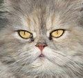 Persian cat eyes Stock Image