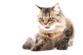 Persian Cat licking nose Royalty Free Stock Photos