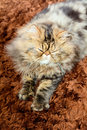 Persian cat male brown tabby Royalty Free Stock Images