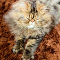 Persian cat male brown tabby Stock Photography