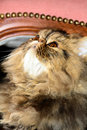 Persian cat male brown tabby Stock Images