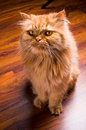 Persian cat an orange looking at the camera Stock Photos