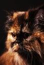 Persian cat in turtle colors Stock Photos
