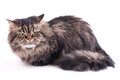 Persian cat on a white background Stock Photography