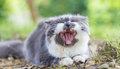 Persian cat yawning Royalty Free Stock Photography