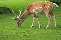 Persian fallow deer Stock Image