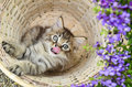Persian kitten in basket Stock Photos