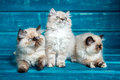 Persian kitten blue background Royalty Free Stock Photo