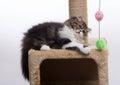 Persian kitten of dark coloring Royalty Free Stock Photo